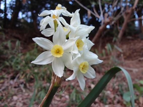 スイセン ほのかに香る春のかおりです